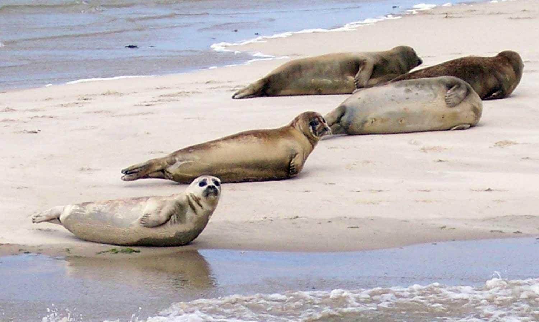 Zeehonden op het Wad